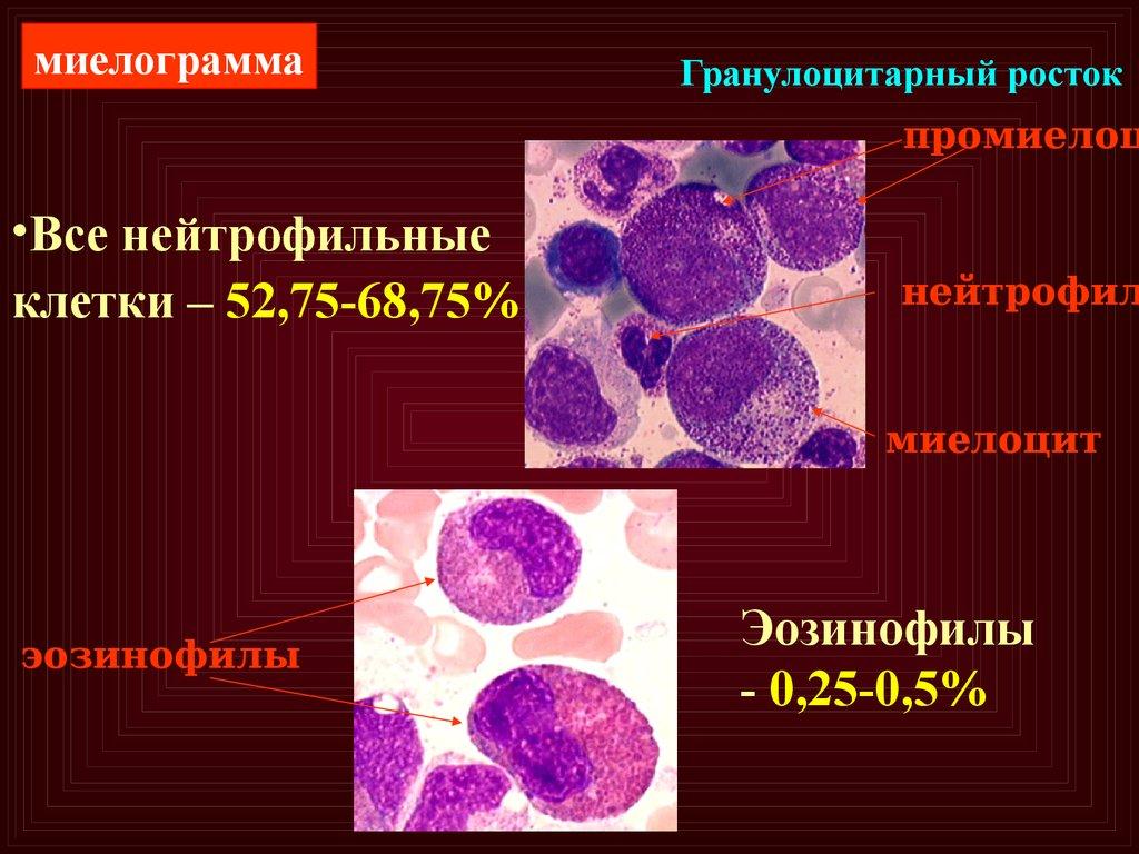 Миелоцит