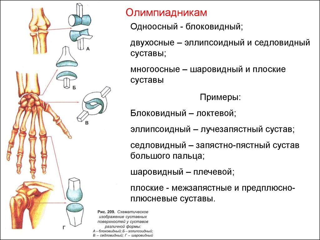 Сустав Седловидный