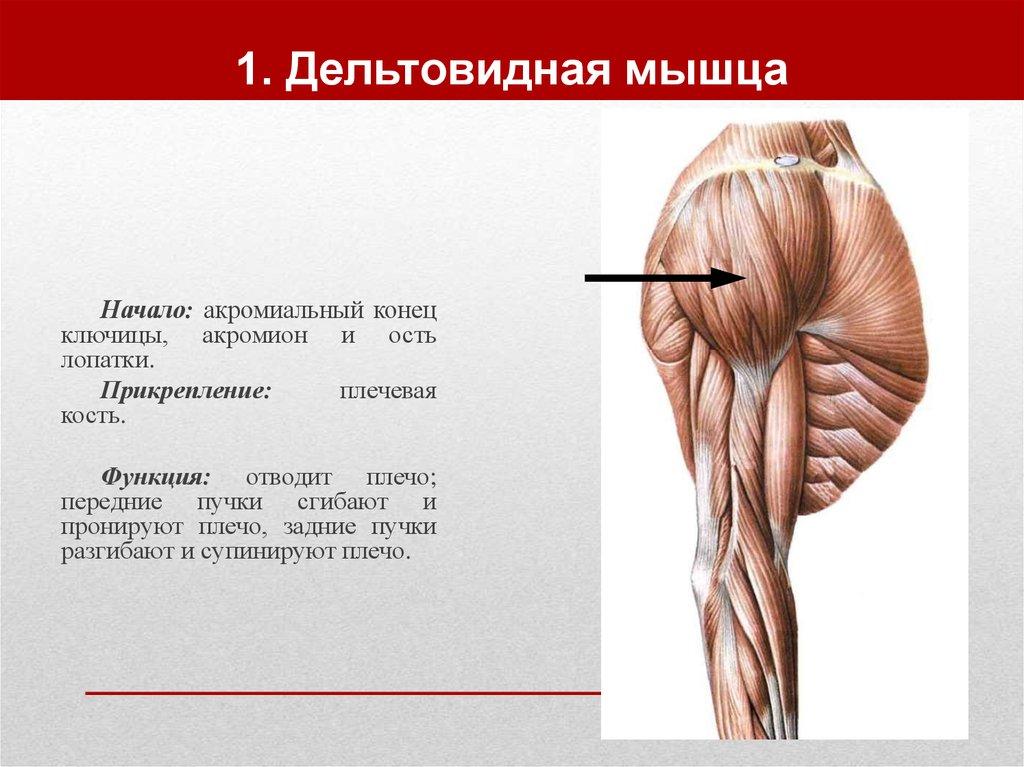 Где находиться дельтовидная мышца