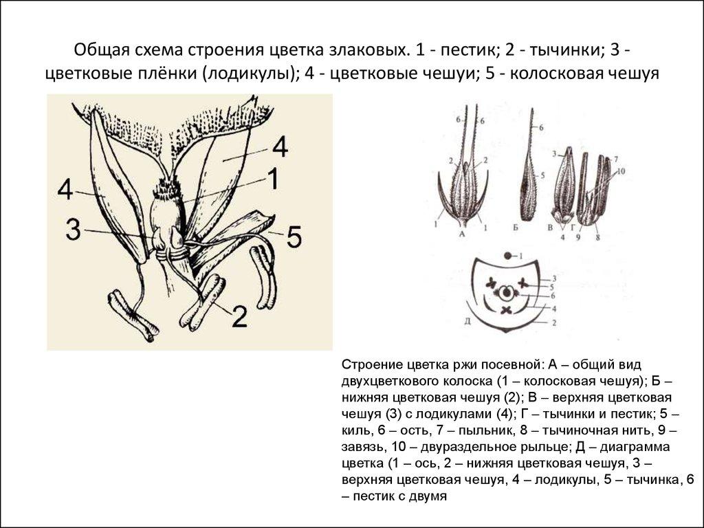 Строение цветка схема 6 класс биология фото 386