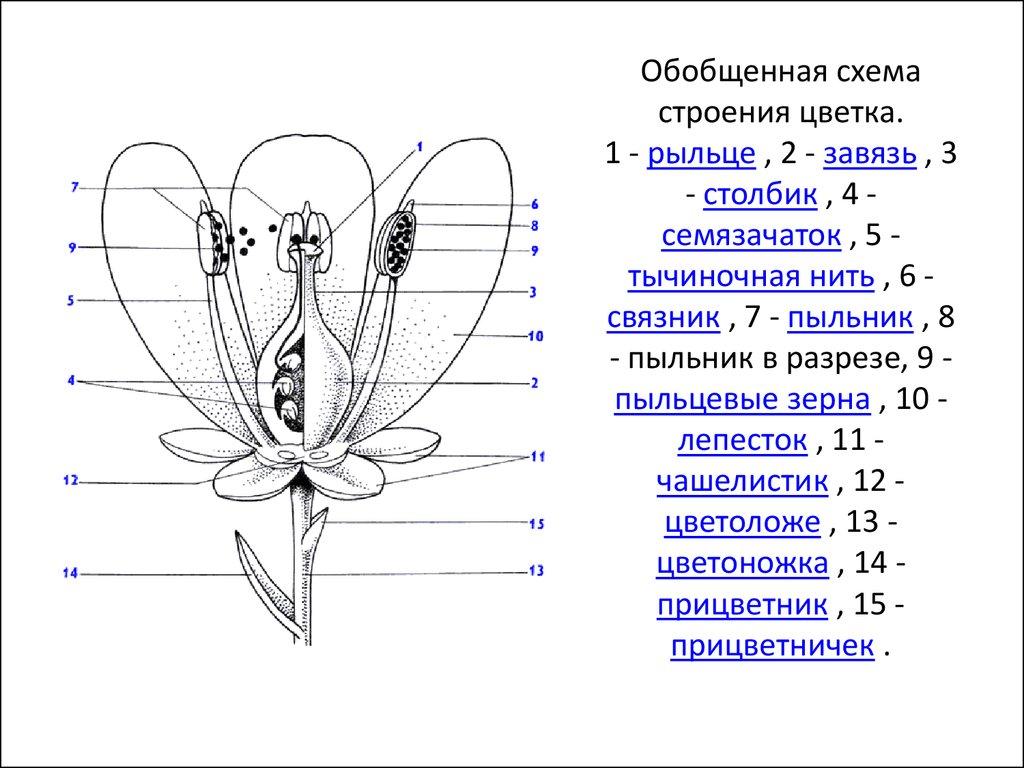 Схема цветка 6 класс 215