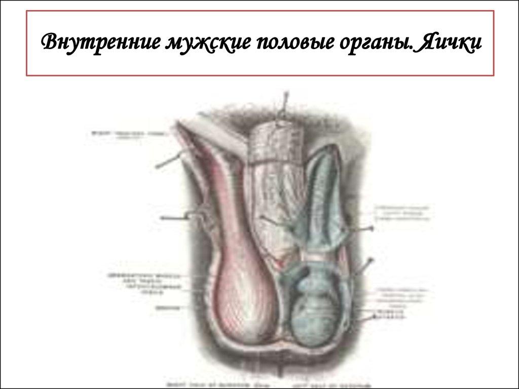 muzhskie-genitalii-onlayn