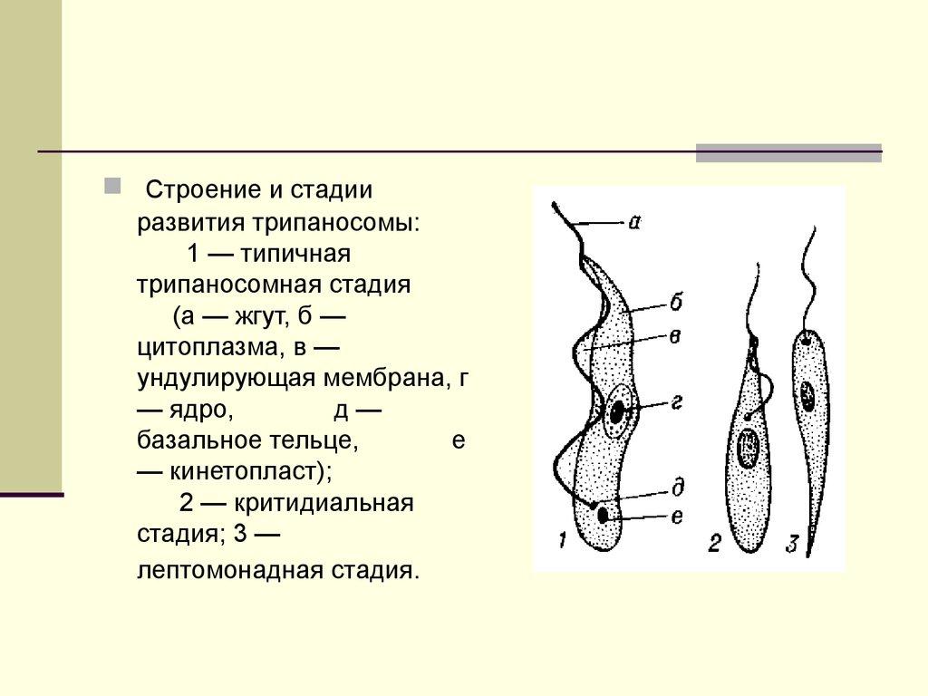 тканевые паразиты человека чем изгнать
