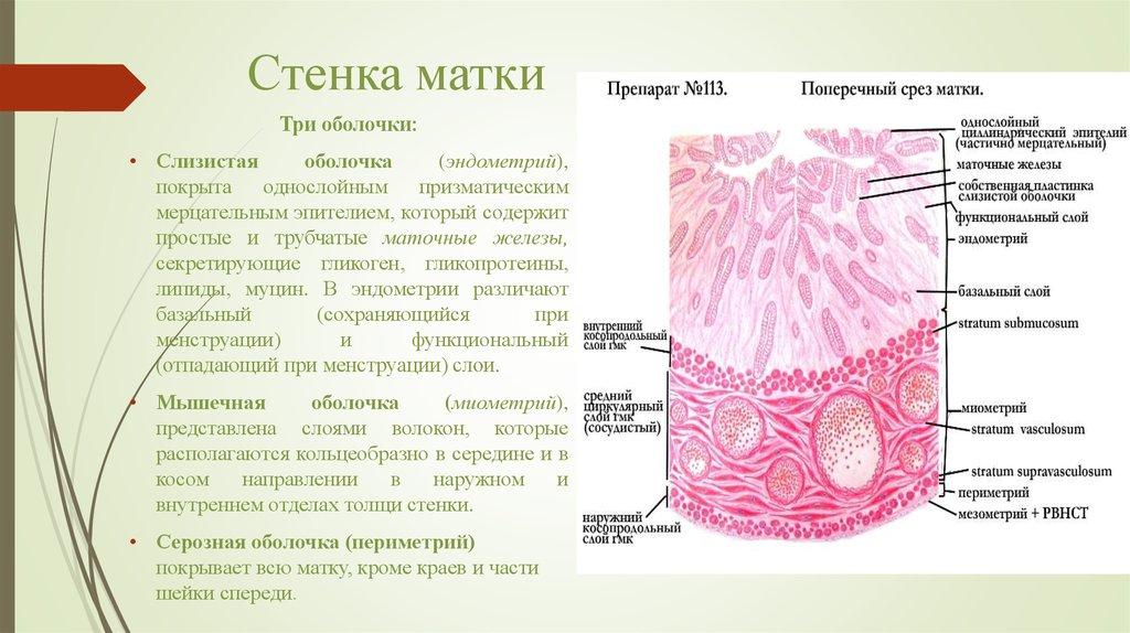 Женская половая система - online presentation