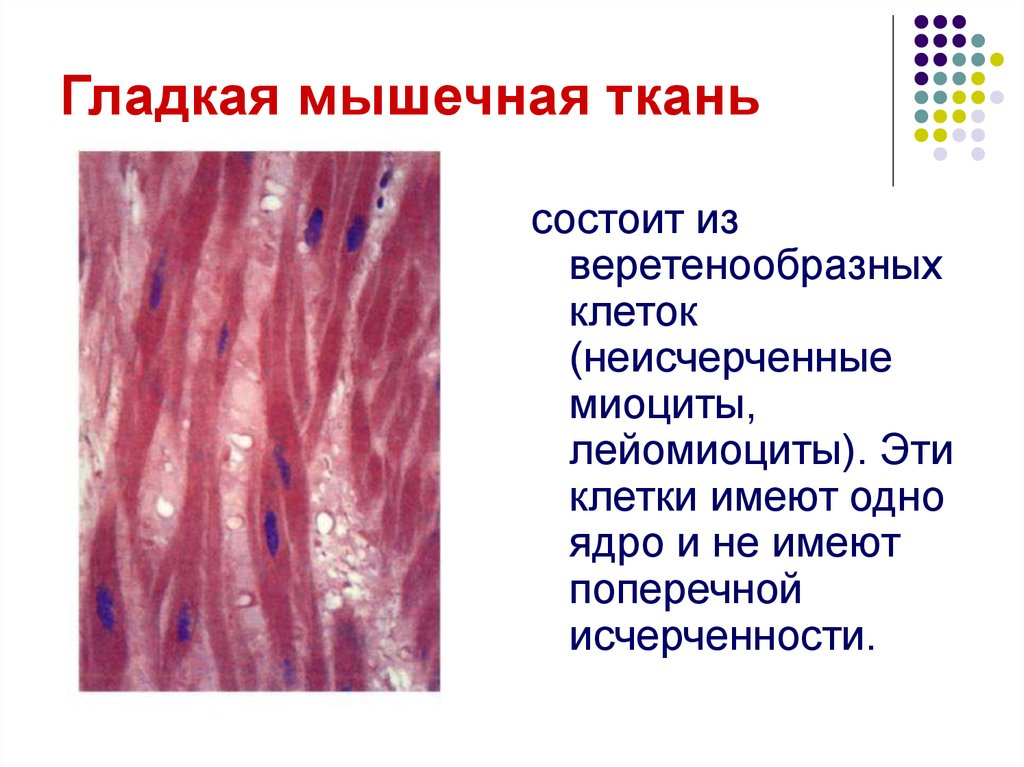 Мышечные ткани  studfilesnet