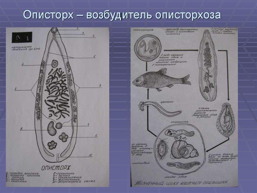 круглые черви паразиты животных и человека