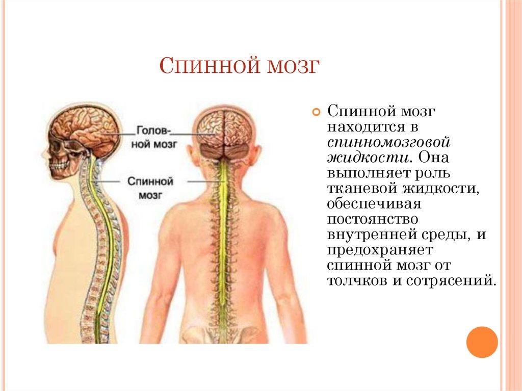 Где находится спинной мозг человека