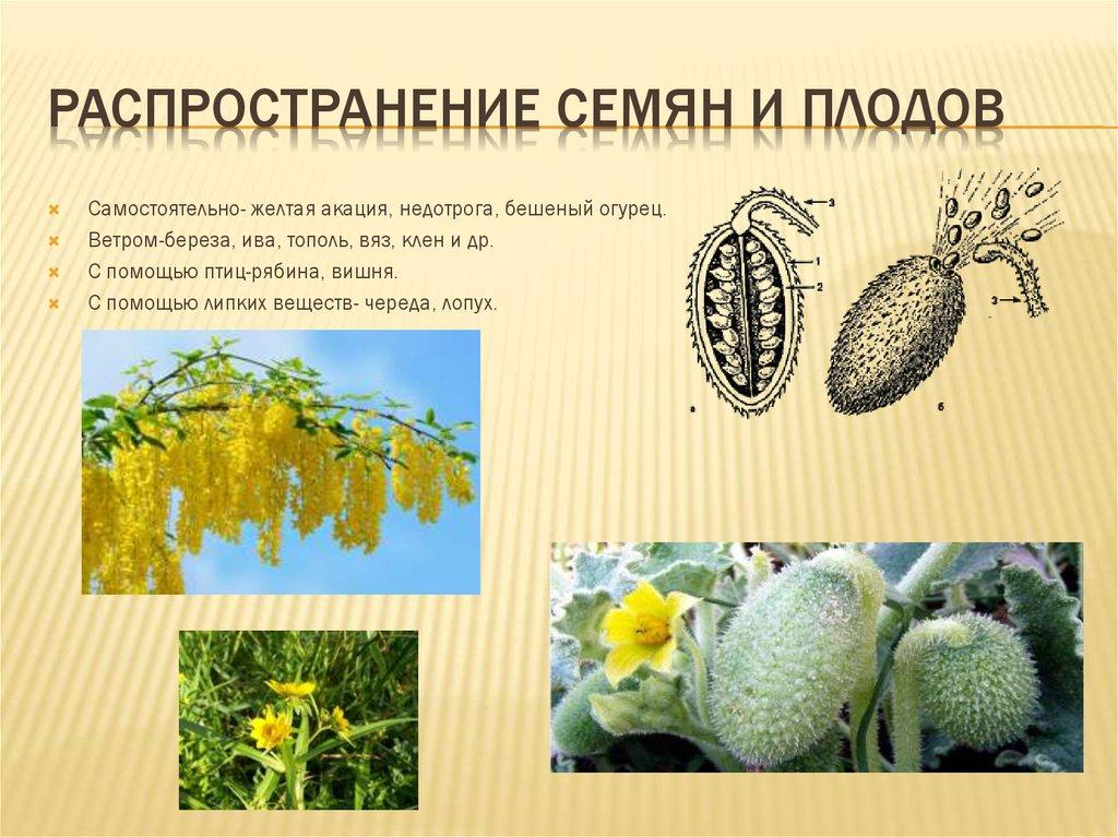 Самостоятельное распространение плодов и семян