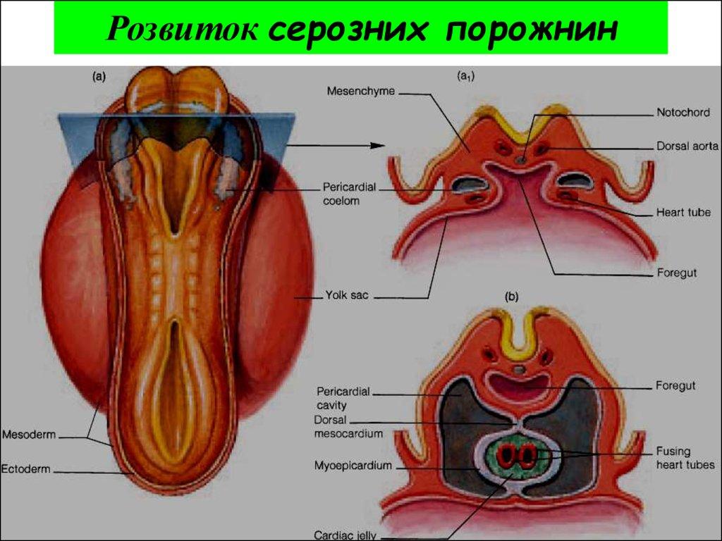 polovih-organ-foto