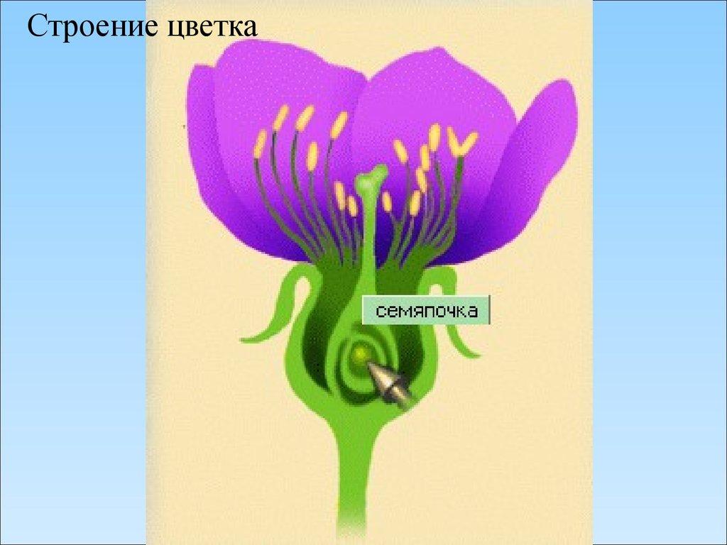 мир биологии презентация по теме строение цветка