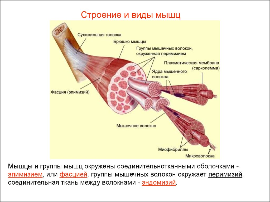 Эндомизий