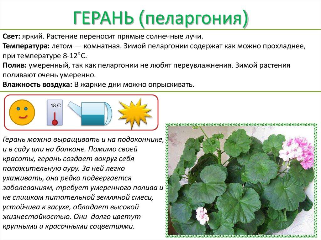 Цветок спатифиллум  уход в домашних условиях Выращивание