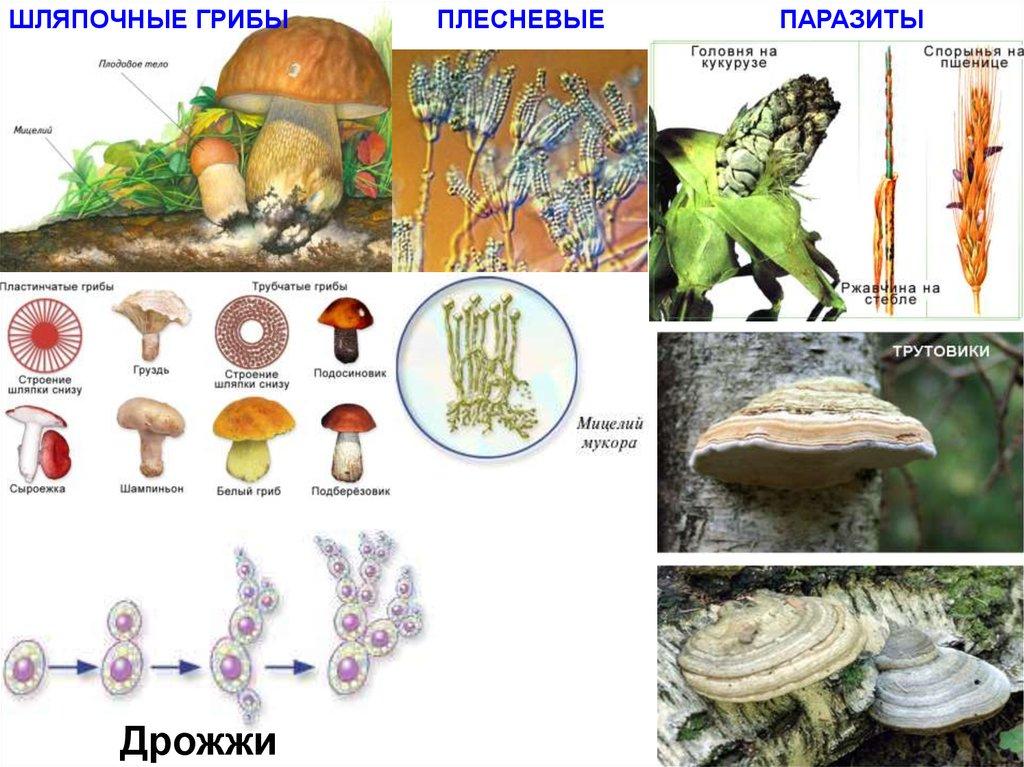 трутовик от паразитов