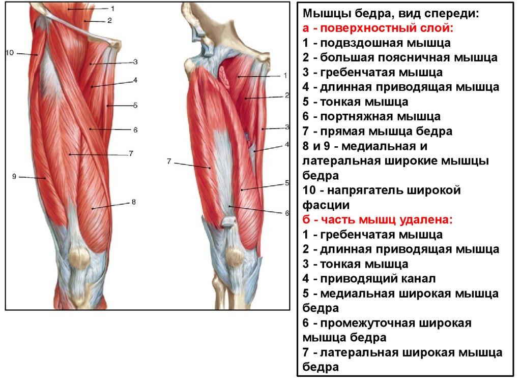 Мышца подвздошная