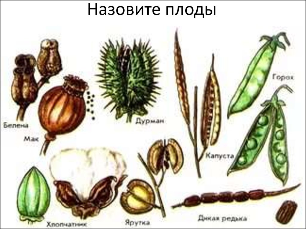 Назовите плод картофеля