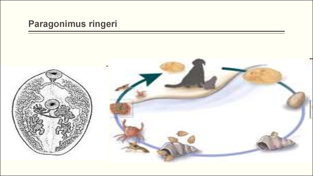 сосальщики паразиты человека группы