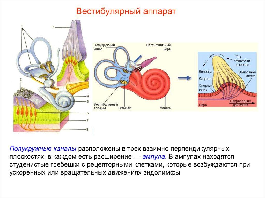 Эндолимфа