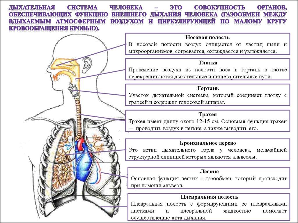 по дыхательной системе гдз