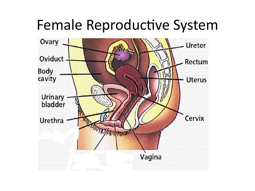 Diagram Of Female Reproductive Organ  Anatomy Body System