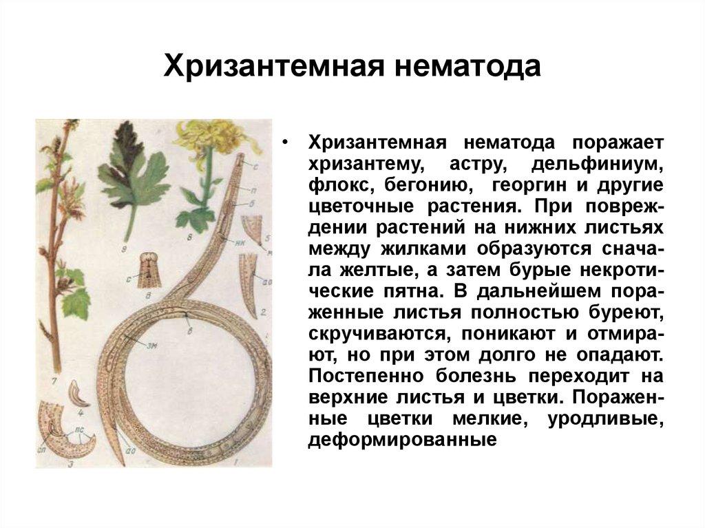 растительные паразиты человека