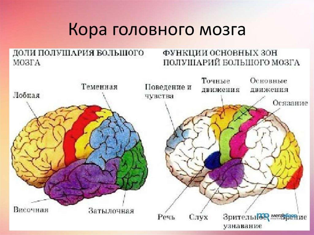 полушария большого мозга в таблице