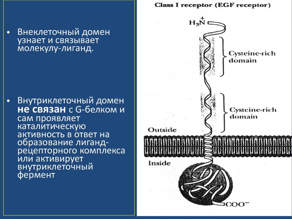 фермент внеклеточный