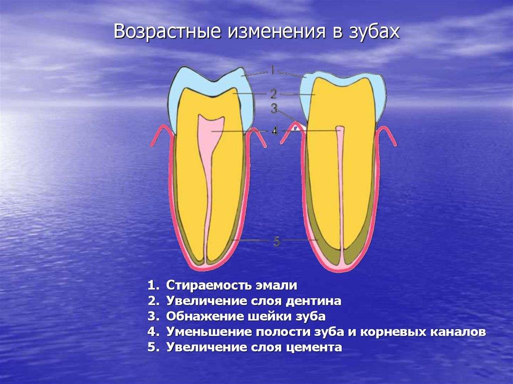 Строение полости зуба у постоянных зубах