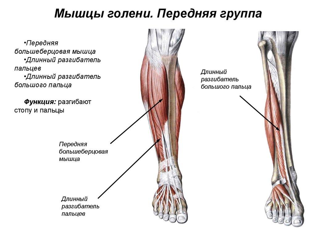 болят мышцы голени причина