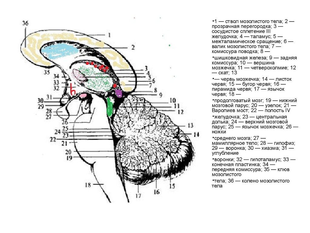 Червь Мозжечка