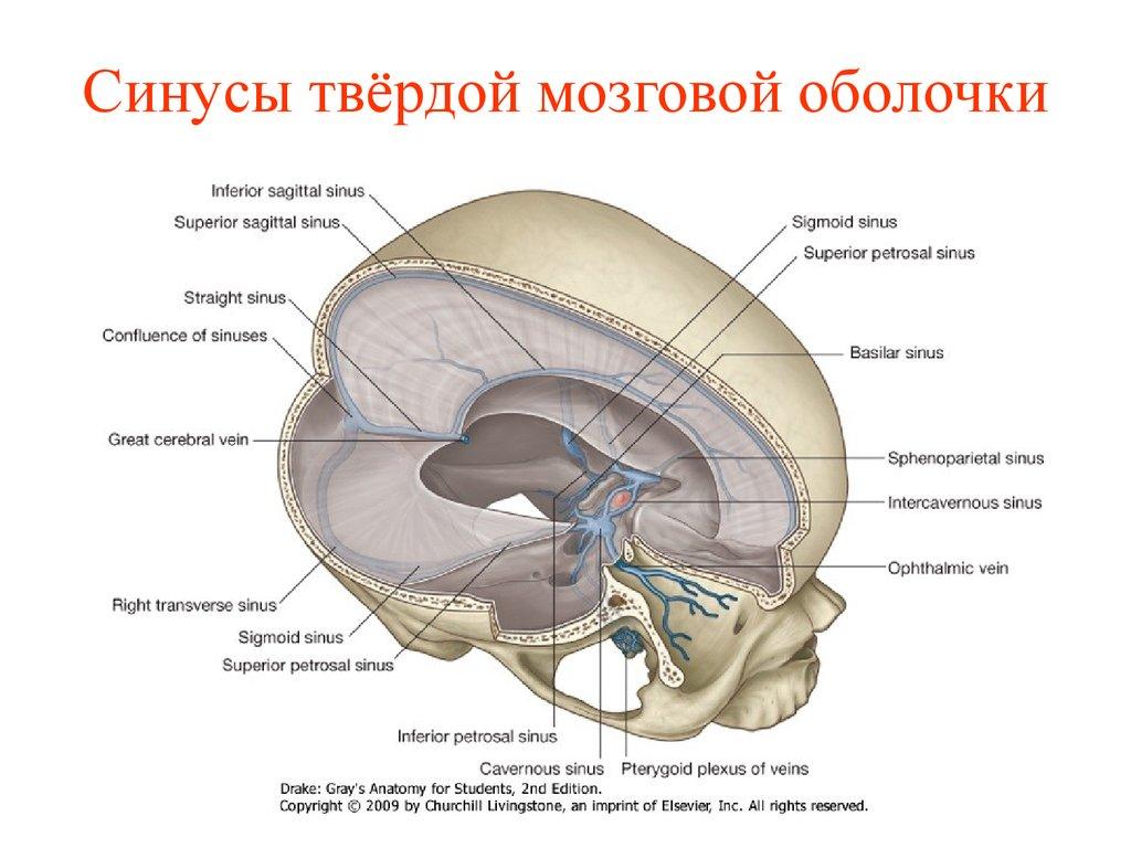 Оболочка мозговая твердая