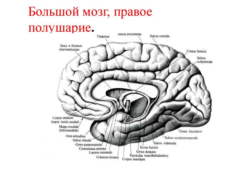Мозг большой