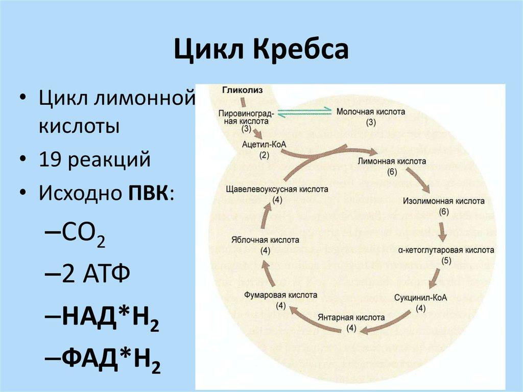 Химические свойства b) окисление яблочной кислоты cooh cooh ho c h c o ch2 ch