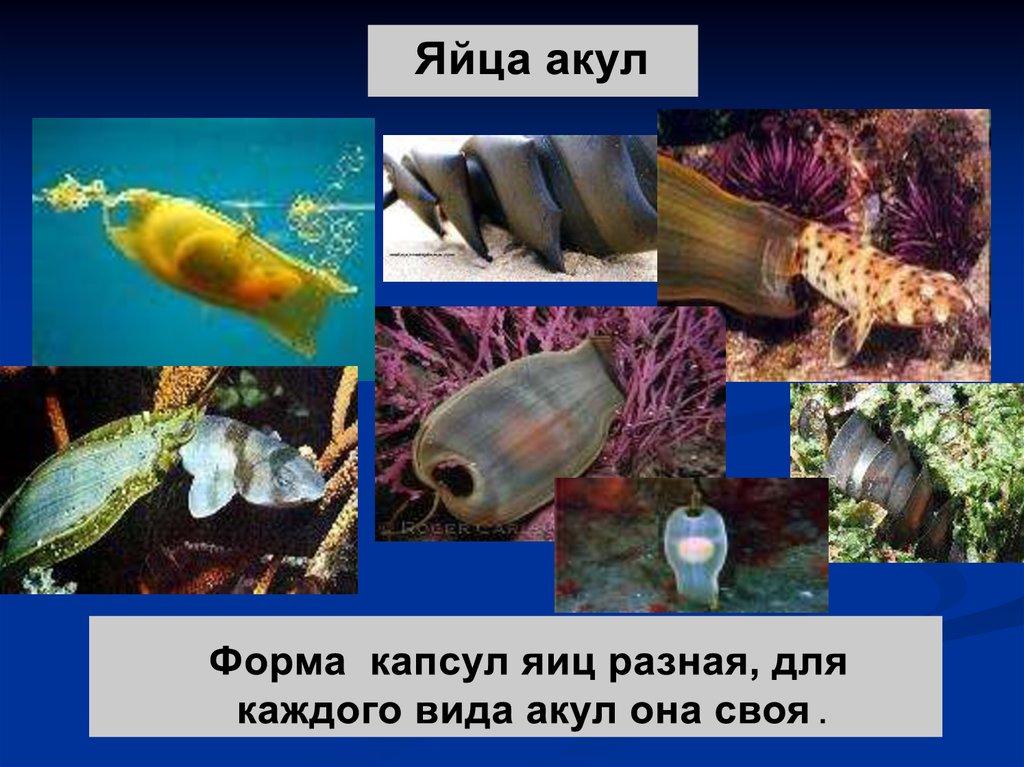 рыба скат игра