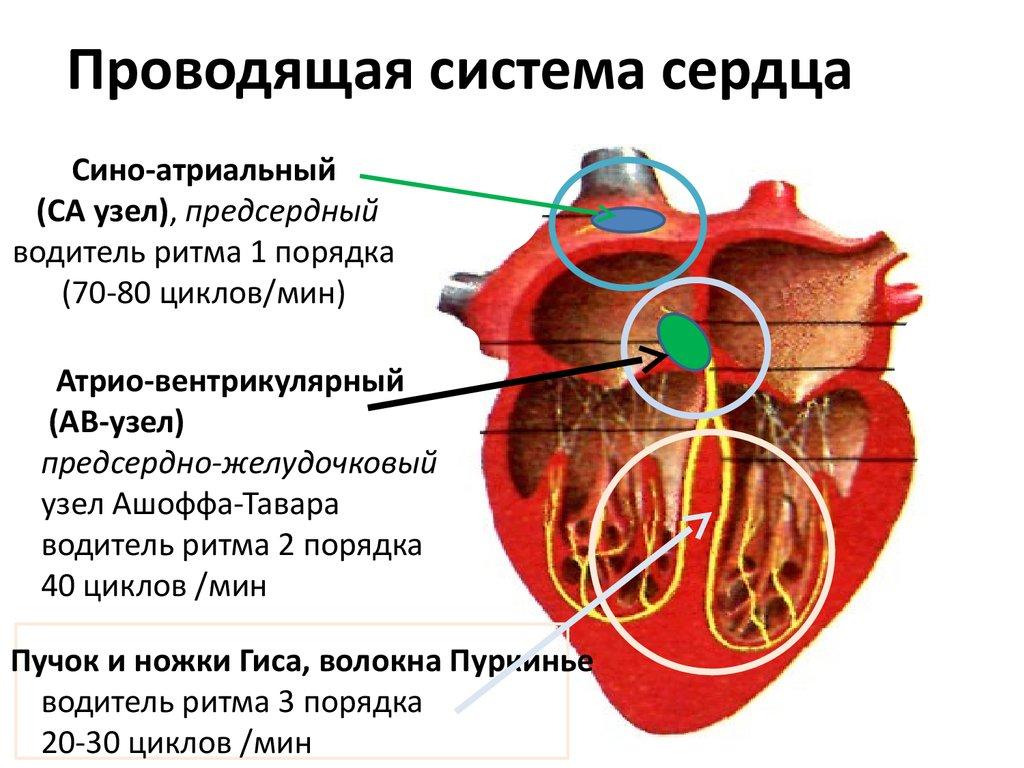 паразиты поражающие печень человека