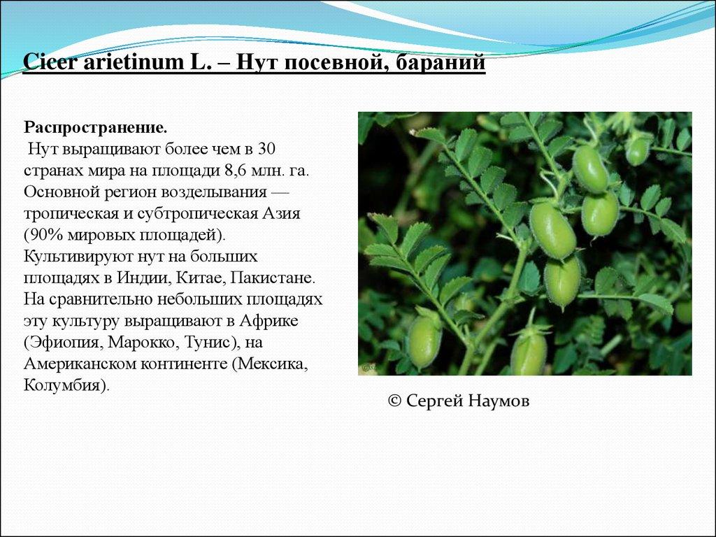Нут культура выращивания 31
