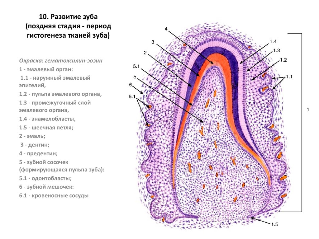 Развитие зуба гистогенез зуба