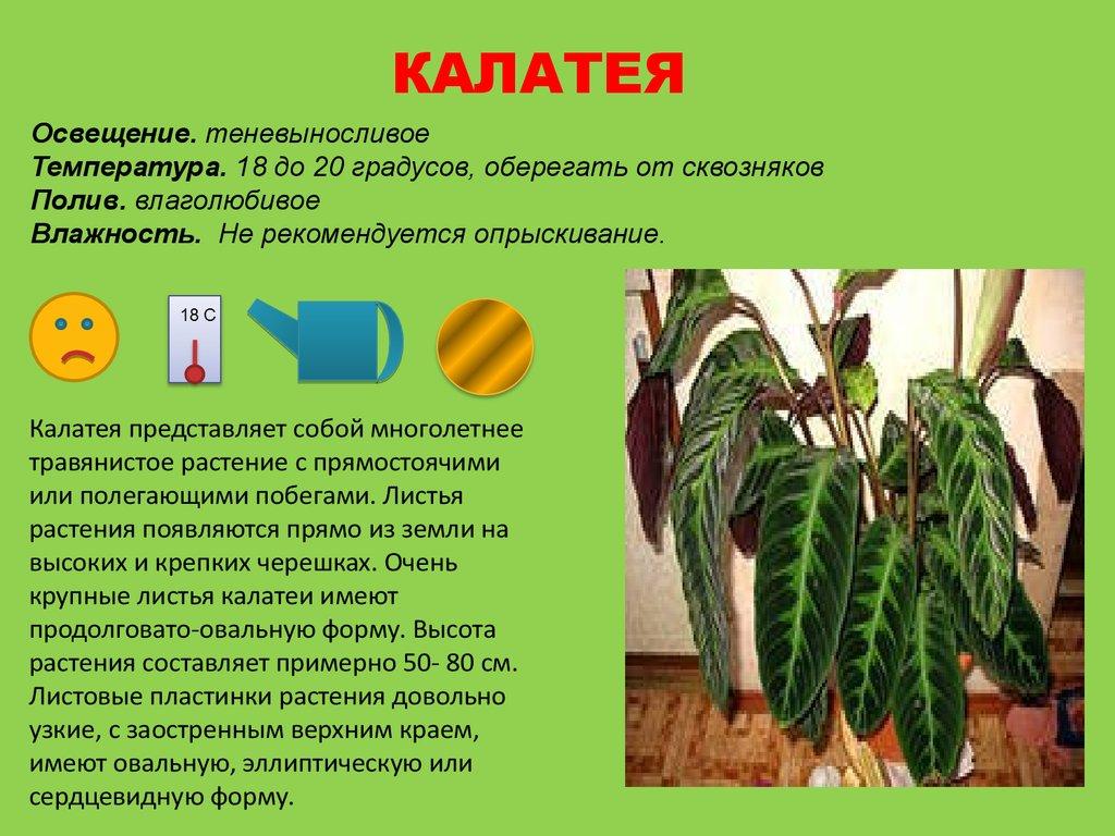 Комнатные растения Фиалки сенполии бегонии