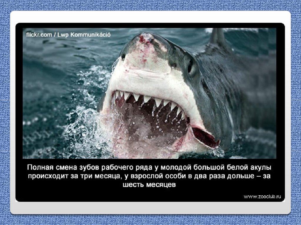 белая акула сколько лет живет