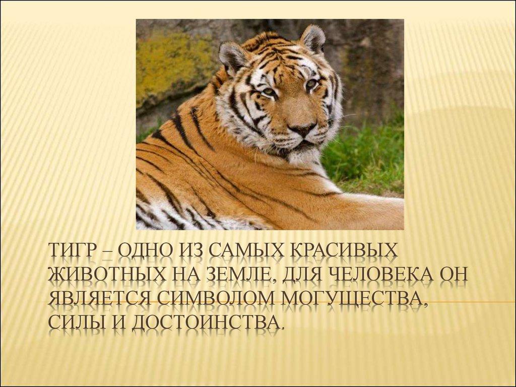 Дальневосточный леопард рисунок