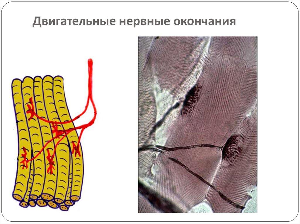 Миоцит