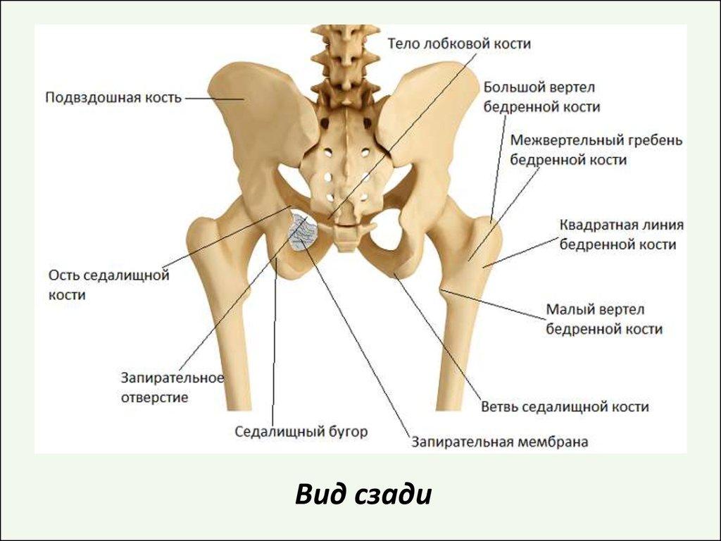 Почему болят тазобедренные кости