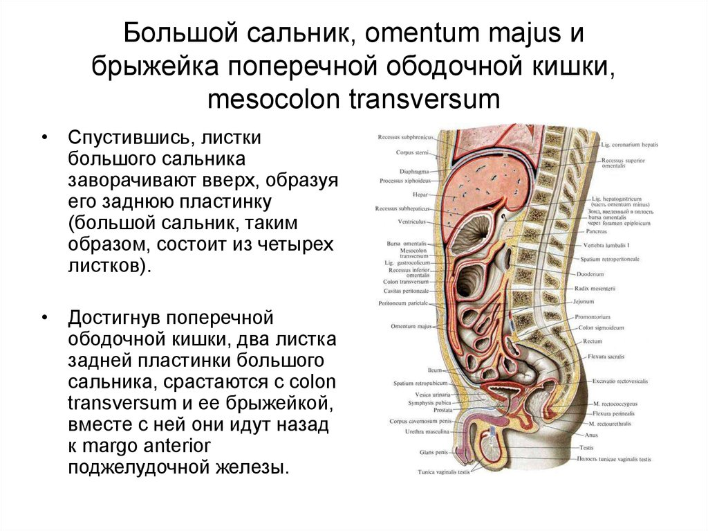Greater omentum and mesentery