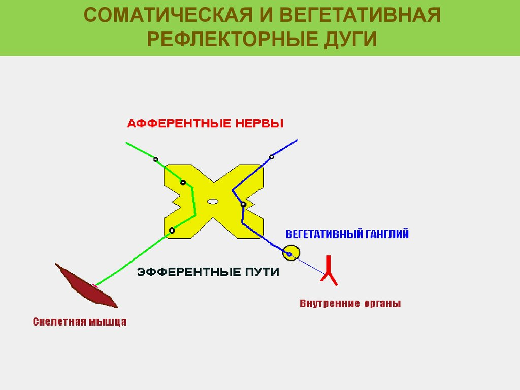 вегетативная симпатическая рефлекторная дуга схема
