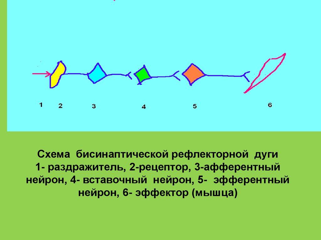 вегетативные рефлекторные дуги схема