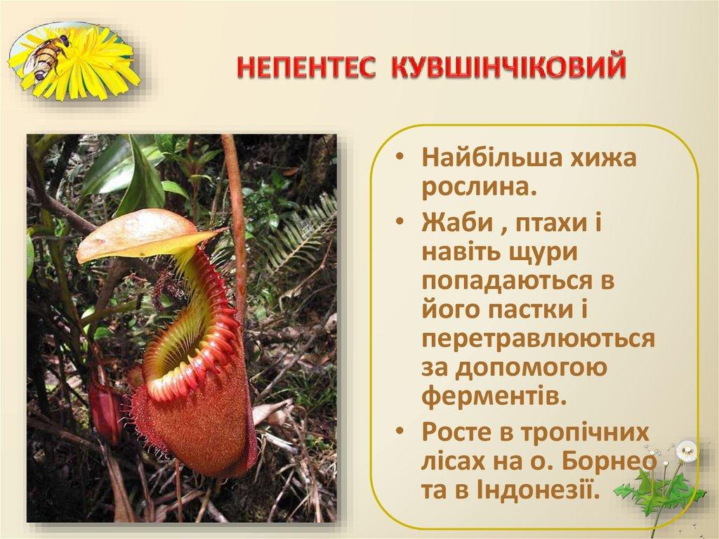 Непентес  Комнатные растения