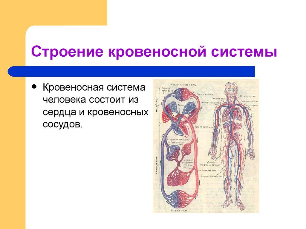 кровообращение человека презентация