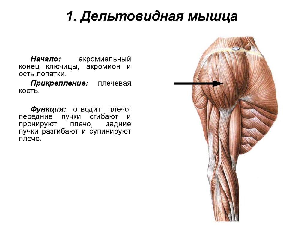 дергается дельтовидная мышца