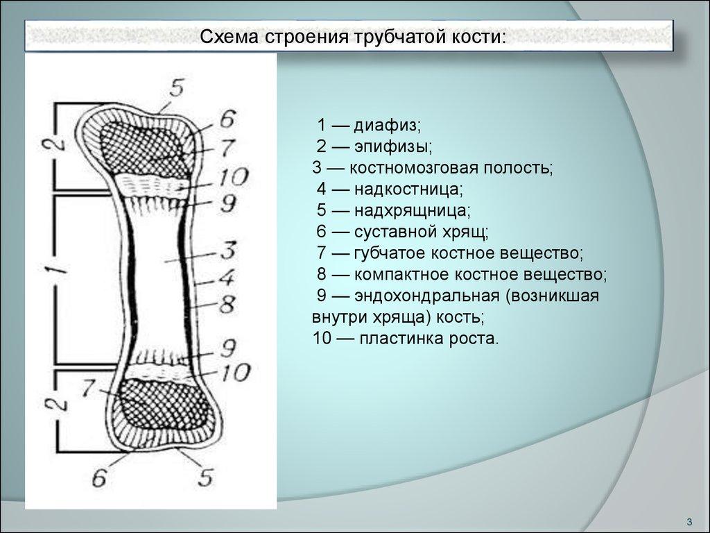анатомия схема губчатой кости