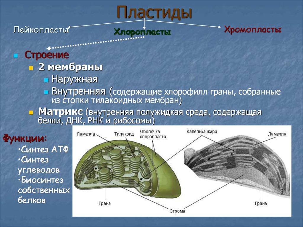 Plastids structure
