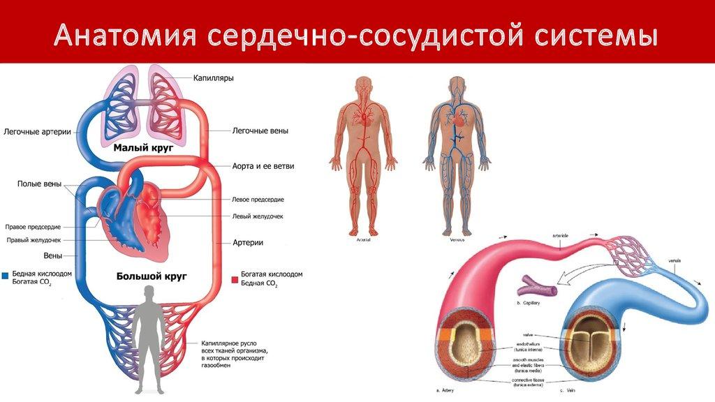 Анатомия И Физиология Сердца Презентация